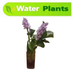 Water Hyacinth (with glass jar)