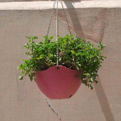 Nanthra (Hanging)