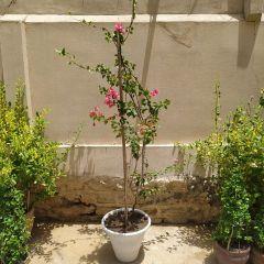 bougainvillea-karachi-plants_7