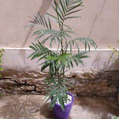 Cane Palm