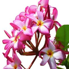 Champa-Pink-Karachi-Plants-Champa