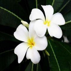 Champa White