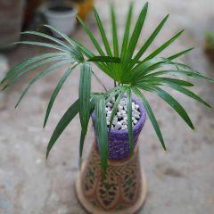 China Palm