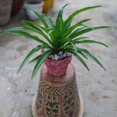 Chlorophytum (Terracotta Pot)
