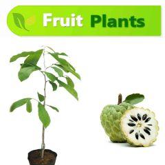 Custard Apple (Sharifa) Plant