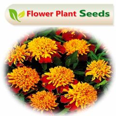French Marigold Double sparky (Mixed)