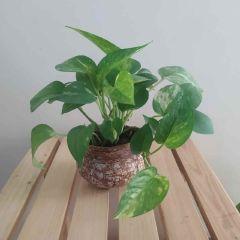 Matki Money Plant (Hanging)