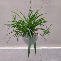 Chlorophytum (Hanging)