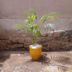Areca Palm -1