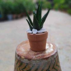 Aloevera (desktop ceramic pot)