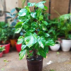 Money Plant with Climber
