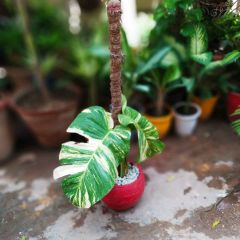 Money Plant with big leaves
