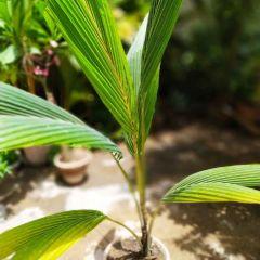 coconut palm tree in Karachi