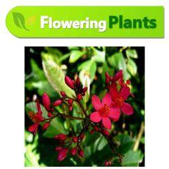 Jatropha-Flower-Karachi-plants