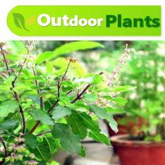 Mehndi-Henna-Plant-Karachi-plants