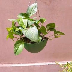 Money Plant (Hanging Pot)