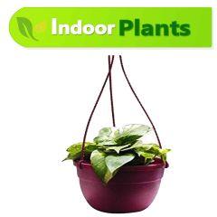 Money Plant (with plastic hanger)