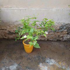 Motia-Plant-Karachi-Plants