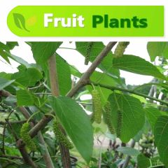 Mulberry-Shehtoot Plant