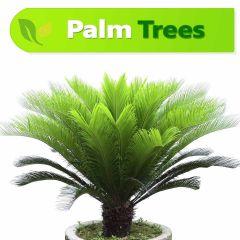 Sago Kangi Palm  in Karachi