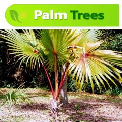 Red latania palm