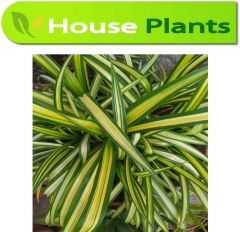 Spider plant Chlorophytum comosum | Karachi Plants