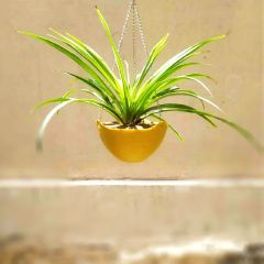 Spider plant in hanging pot