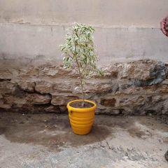 Star Ficus (Yellow Pot)