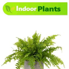 nephrolepis-exaltata-karachi-plants_7